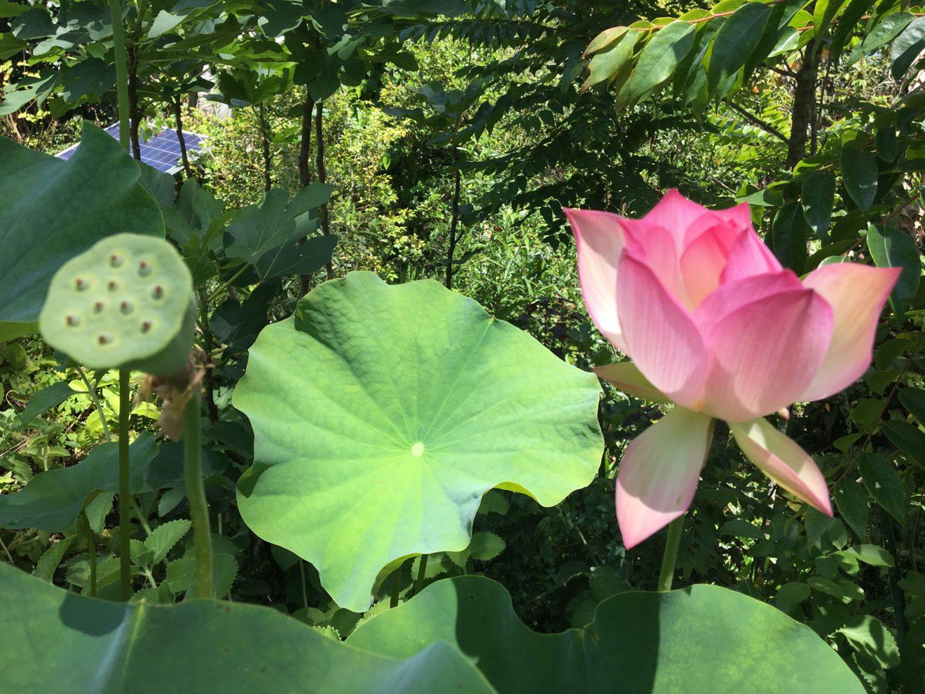 lotus-IMG_0311