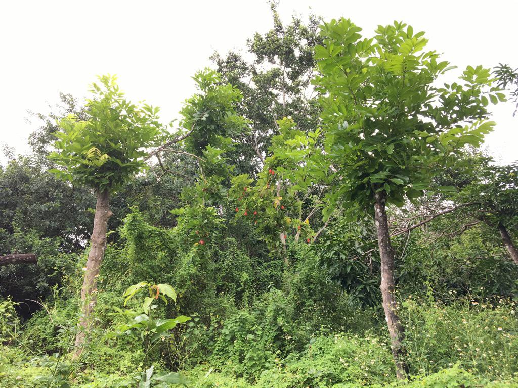Ackee-trees