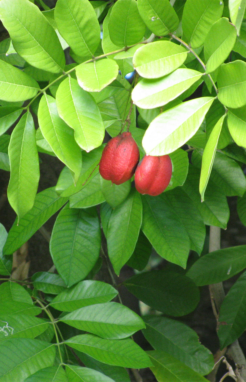 Leaves-of-Ackee-plantcropped