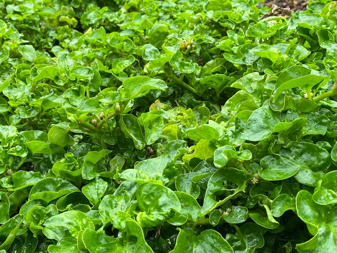 sisso spinach